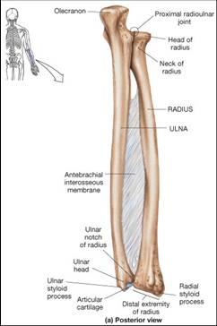 humerus bone diagram truck to trailer wiring 2014 dodge ram plug car 7 way 5 forearm bones - radius and ulna with interosseous membrane | john the bodyman fitness academy