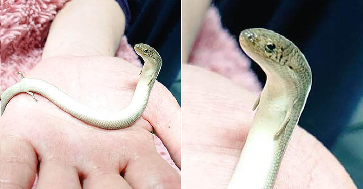 牠不是蛇!日本出現「小手小腳」奇異生物 超愛黏著人類的手討摸摸 – 爆笑博客