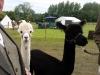 alpacas (1)