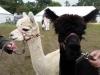 alpacas (5)