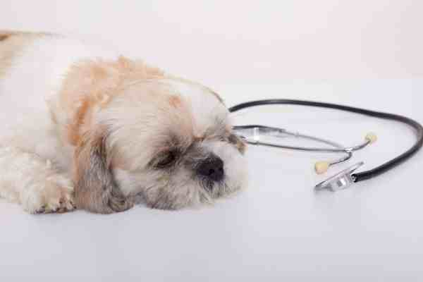 Portrait of a cute young small Pekingese dog lying on white floor near stethoscope, puppy at vet's appointment, upset pet at veterinary clinic.