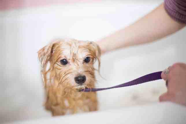 สุนัขสีน้ำตาลอ่อนตัวเปียกกำลังอาบน้ำ
