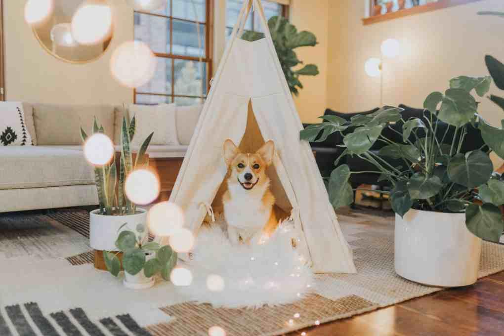 สุนัขคอร์กี้นั่งอยู่บนเบาะขนฟูสีขาว ในเต๊นท์สีขาว
