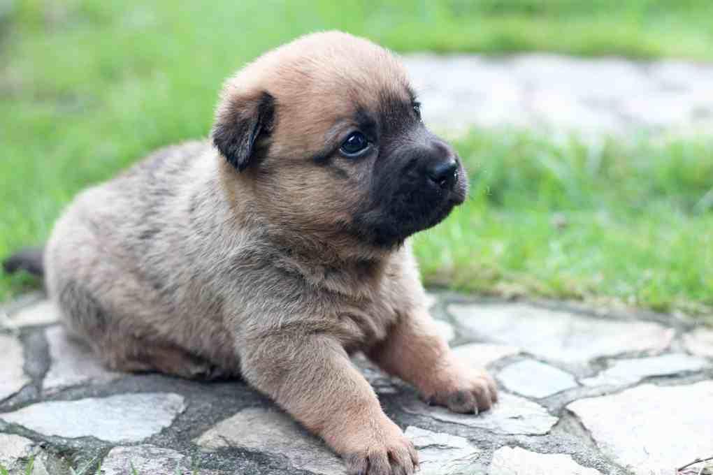ลูกสุนัขสีน้ำตาลบนพื้นหินสีเทาข้างหญ้าสีเขียว