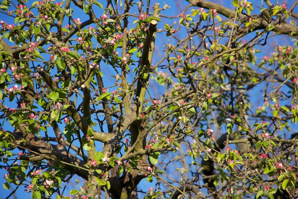 Apple Blossom web