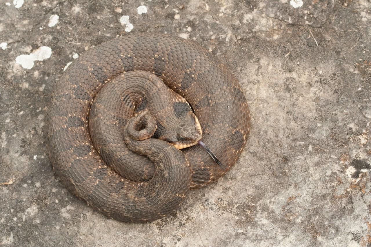 Eastern Hognose Snake (Photo by Douglas Mills)