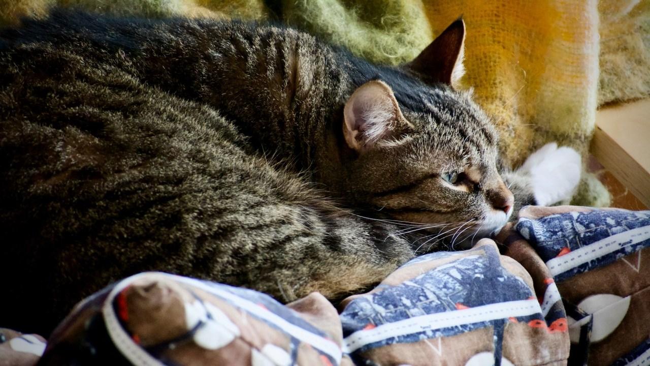 Doofus, a cat, ensconced on a cushion.