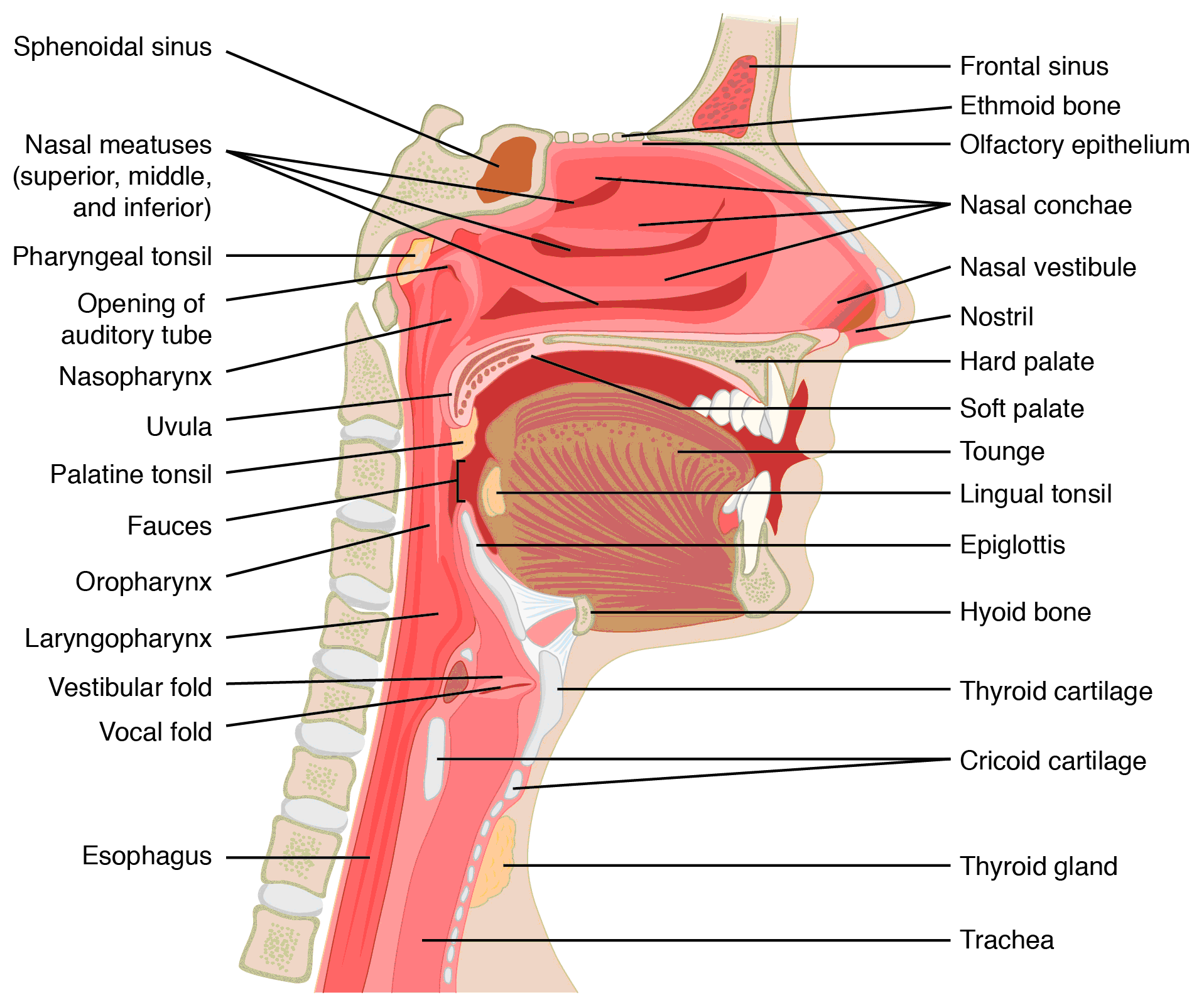 diagram of the human nose and throat basic electrical wiring diagrams home respiratory system anatomy
