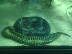 Yellow anacondas at the Zoologischer Garten Berlin aquarium.