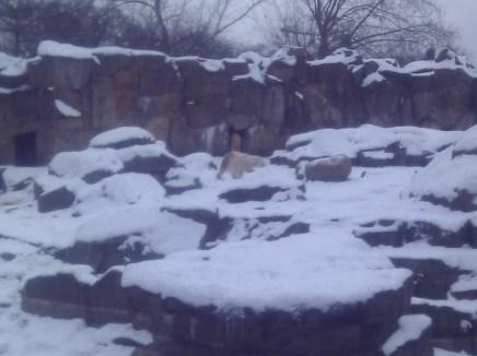 Polar bears at the Zoologischer Garten Berlin.