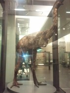 A ten-foot tall life-size replica of a moa at the Auckland Museum. These flightless birds were hunted to extinction by the Maori in the 15th century.