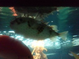 Some sort of spiny/puffer fish, at Kelly Tarlton's aquarium. Alas, I can't find the species name.