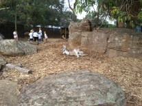 A sleepy kangaroo at Taronga Zoo. :) Many exhibits were like this, with no fences between the animals and humans.