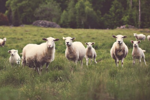These sheep