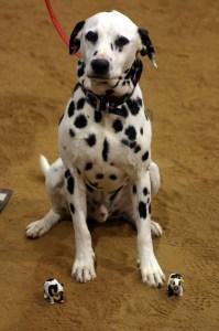 Dalmatian and Bovines
