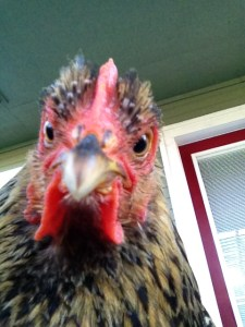 Angry Chicken told to get over it - not happening