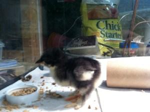 Week old Cochin chick