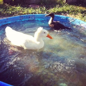 Two ducks in a pool