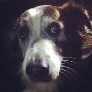 Senior dog, Patches