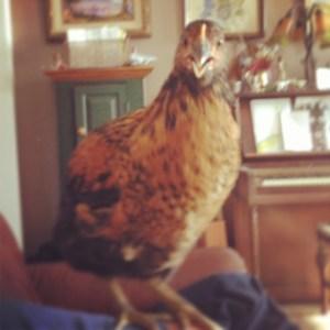 Assorted chicken