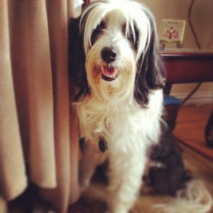 Tibetan Terrier rescue dog