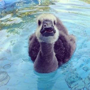 Ryan Gosling swims