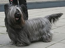 Pretty Skye Terrier, via Wikipedia