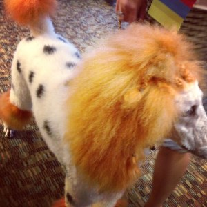 A spotted Poodle