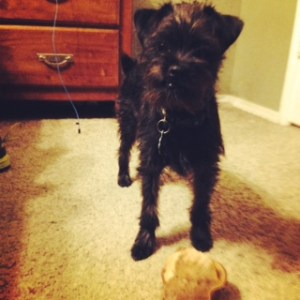 My Affenpinscher pup