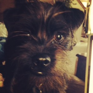 Chewy the Affenpinscher puppy