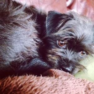 Sweet little Affenpinscher pup