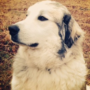 Colt the Anatolian/Great Pyrenees