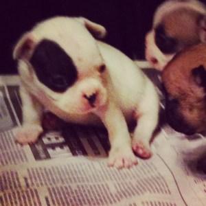 French Bulldog pup at four weeks