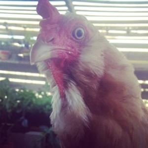 Buff Orpington mix hen