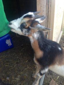 dwarf nigerian goat