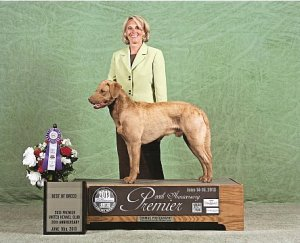 Prize winning Chesapeake Retriever