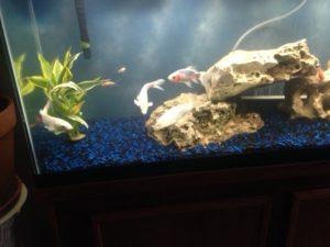 Koi in a fish tank