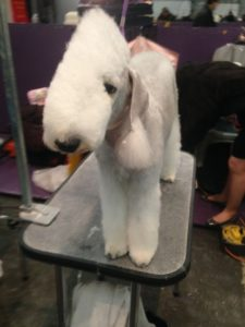 Bedlington Terrier on the grooming table = National Dog Day