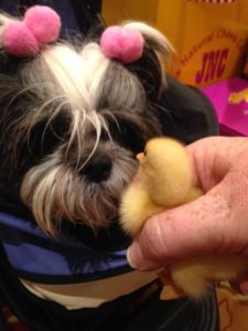 Face to face, Shih Tzu and duckling