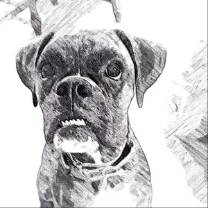 Black and white Boxer