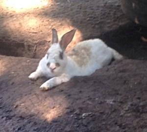 A cool New Zealand Chestnut rabbit stays cool in a scrape on an urban farm