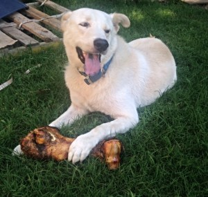 Loves his new bone - dog bones from Jones Natural Chews are the best! for a dog photo shoot
