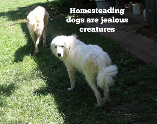 Homesteading dogs are jealous creatures