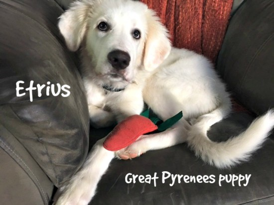 Etrius, a Great Pyrenees puppy, with a carrot squeaky toy www.DogTreatWeb.com