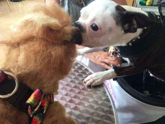 Bowie and T-Gadge at BlogPaws 2017