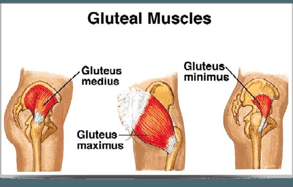 Image result for gluteus medius