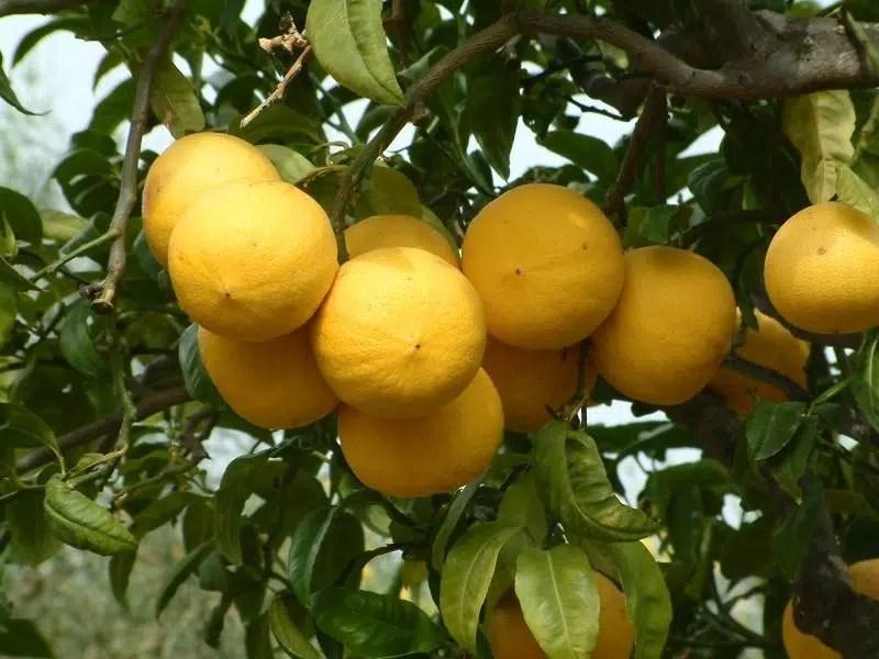 Bergamotti della Calabria