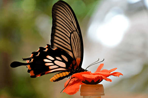 butterfly palace nectar 3