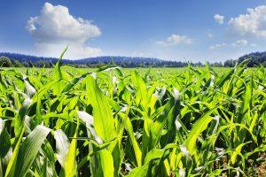 Maize growing in a field