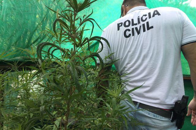Descoberta plantação de maconha em Sapiranga